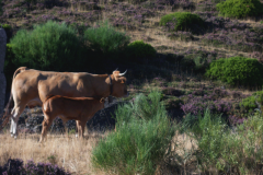 vacas_pastando